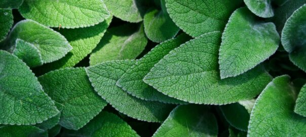 Reasons to Consider Use of Stevia for Diabetes